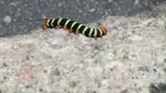 This really cool looking caterpillar